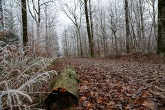 Winter forest. Frosty morning in the winter forest.  stock photo