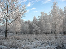 Winter forest. Frosty trees Royalty Free Stock Photos