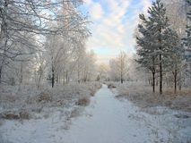 Winter forest. Frosty trees Stock Photos