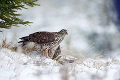 Winter forest with Goshawk. Wildlife scene from Germany nature. Bird of prey Goshawk kill bird and sitting on the snow meadow with. Snow royalty free stock photography