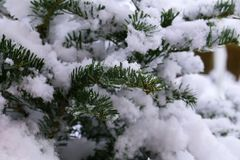 In the winter forest. Green needles in the snow.  stock photos
