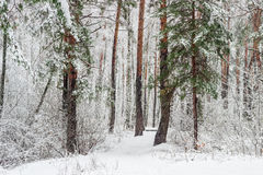 Winter forest during a heavy snowfall Stock Image