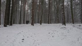 Winter forest during a heavy snowstorm and snow stock video