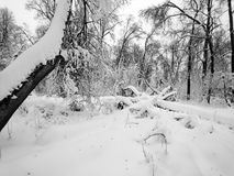 Winter forest during a heavy snowstorm and snow Stock Photos
