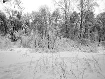 Winter forest during a heavy snowstorm and snow Stock Image