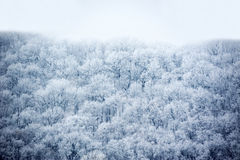 Winter forest in hoarfrost Royalty Free Stock Image