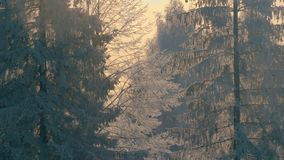 Winter forest in a hoarfrost. Mid shot 4K stock footage