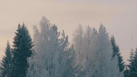 Winter forest in a hoarfrost. Panorama 4K stock footage