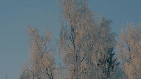 Winter forest in a hoarfrost. Wind is slightly swaying tree`s branches stock footage
