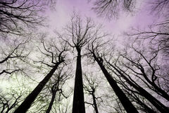 A Winter Forest Royalty Free Stock Image