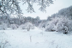 Winter forest Stock Photo