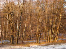 Winter forest. Illuminated by the setting sun Royalty Free Stock Photo