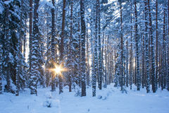 Free Winter Forest In Evening Royalty Free Stock Photos - 60236528