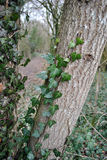 Winter forest ivy Royalty Free Stock Photography