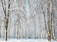Winter forest in January Royalty Free Stock Photography