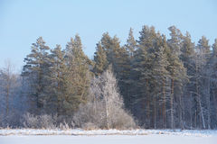 Winter forest in January Stock Photo