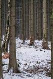 Winter forest in Karkonosze NAtional Park. Trees in a dense forest in winter, Karkonosze National Park, Poland Stock Photography