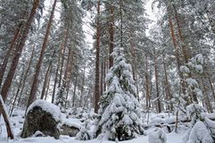 Winter forest landscape. Royalty Free Stock Image