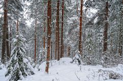 Winter forest landscape. Royalty Free Stock Images