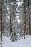 Winter forest landscape. Stock Photo
