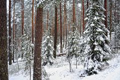 Winter forest landscape. Royalty Free Stock Photography