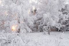 Winter Forest Landscape. Beautiful Snow White, Covered With Hoarfrost, Winter Birch Forest. Sun, Snow-Covered Birch Grove And Snow. Covered Reed In The Royalty Free Stock Photography