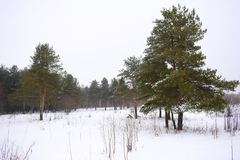 Winter forest landscape. Bright green pine trees against the white snow. Field of snow overcast sky. Green needles of the pine branches Royalty Free Stock Image