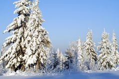 Winter forest landscape on a clear frosty day: trees covered with dazzling snow, against a blue sky. Winter forest landscape on a clear frosty day: fir trees Royalty Free Stock Image