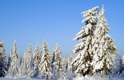 Winter forest landscape on a clear frosty day: trees covered with dazzling snow, against a blue sky. Winter forest landscape on a clear frosty day: fir trees Royalty Free Stock Images