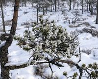 Snow covered pine branch in the winter forest. royalty free stock images