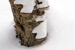 Winter Forest Landscape - Decaying Birchbark. The decaying tree trunk of a Yellow Birch after a snowfall in the forest. The growths protruding from the bark are stock photo