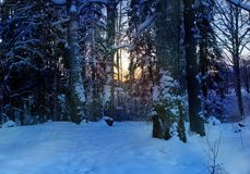 Winter forest landscape the evening the sun sets the snow spruce royalty free stock photography