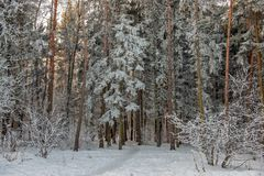 Winter forest landscape royalty free stock image
