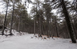 Winter forest landscape. Winter forest frozen road cover in snow at Troodos mountains in Cyprus Stock Images