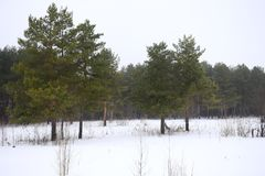 Winter forest landscape. Green pine trees against the white snow. Field of snow. Overcast sky Royalty Free Stock Images