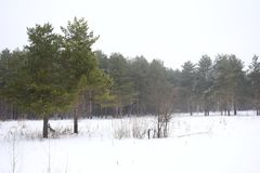 Winter forest landscape. Green pine trees against the white snow. Field of snow. Overcast sky Stock Images