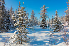 Winter forest landscape with lot of snow Royalty Free Stock Image