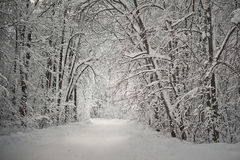 Winter forest. Royalty Free Stock Photo