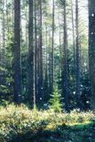 Winter forest landscape Royalty Free Stock Photography