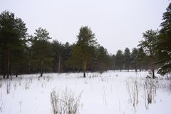 Winter forest landscape in the morning. Bright green pine trees against the white snow. Field of snow overcast sky. Green needles of the pine branches Royalty Free Stock Photography