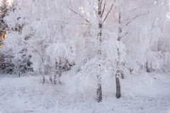 Winter Forest Landscape In Pink Tones Morgen-Winter-Birke ForestBeautiful-Winter-Birke Forest Covered With Hoarfrost Sun, Schnee Lizenzfreie Stockfotografie