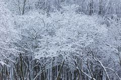 Winter forest landscape with snow stock photo