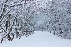 Winter forest landscape with snow royalty free stock image