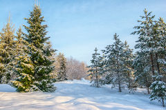 Winter forest landscape with snow in cold weather Karelia Royalty Free Stock Image