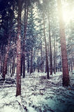 Winter forest landscape Stock Image