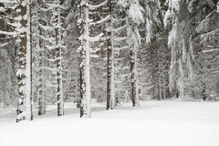 Winter forest landscape Stock Images