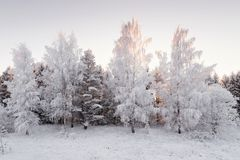 Winter Forest Landscape. The Snow White Birch Forest Covered With Hoarfrost.Winter Birch Grove At Sunset In Pink Tones. Few Winte stock photography