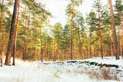 Winter Forest Landscape Stock Photography