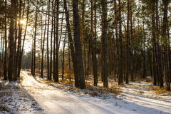 Winter forest landscape sun rays Royalty Free Stock Images