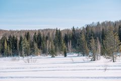 Winter forest landscape. Taiga in the winter. Siberian forest in winter. Snow covered trees. Christmas trees under the snow royalty free stock photo